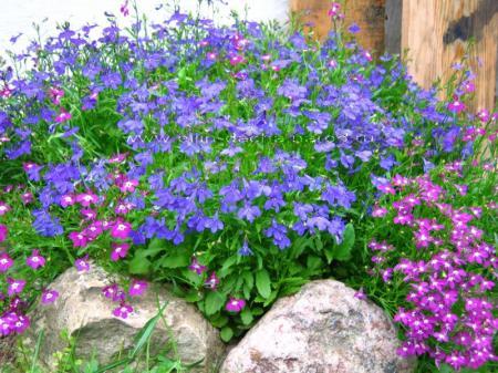 С какими цветами посадить лобелию